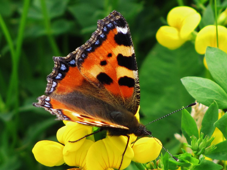 Schmetterling ?