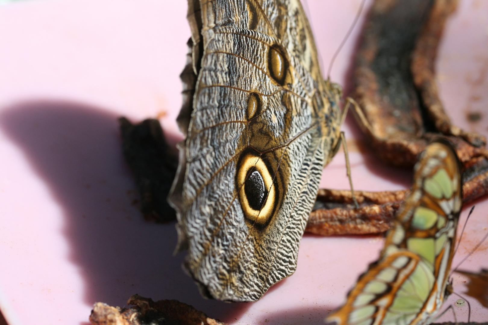 Schmetterling 4