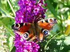 Schmetterling ...5...