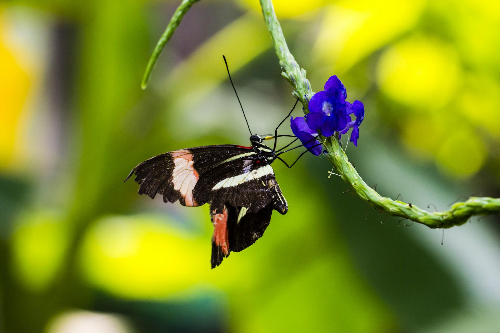 Schmetterling 5