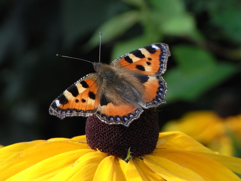 ~~ Schmetterling ~~