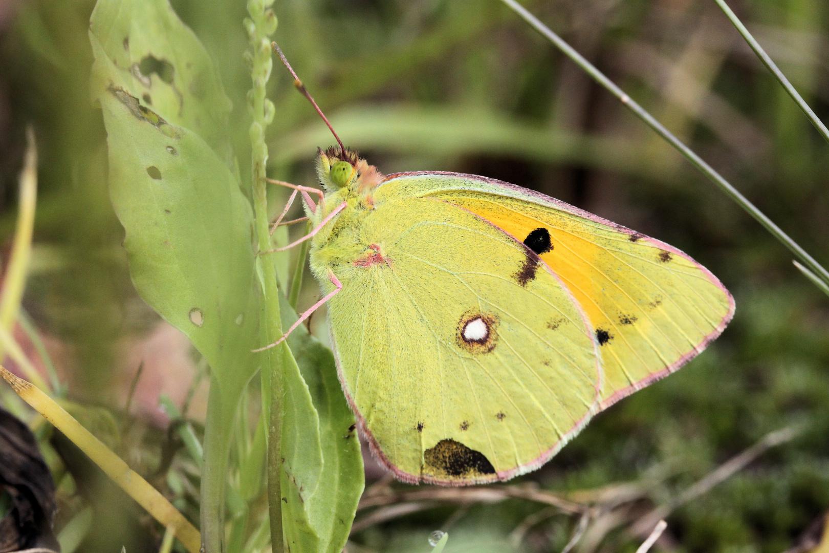 Schmetterling#