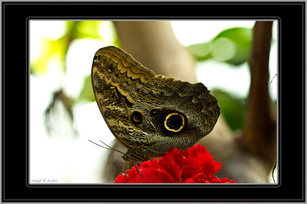 Schmetterling . . . . .