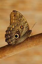 ~ Schmetterling ~