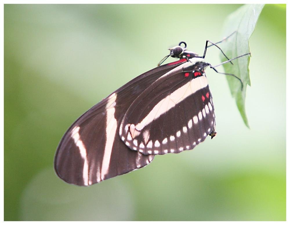 Schmetterling (9916)