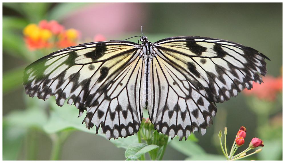 Schmetterling (9924)