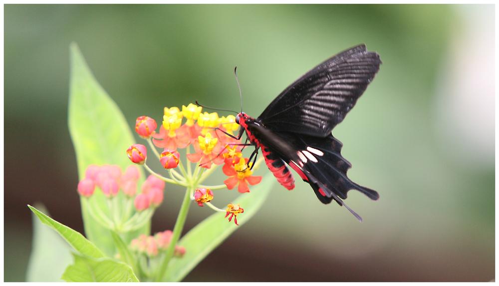 Schmetterling (9935)