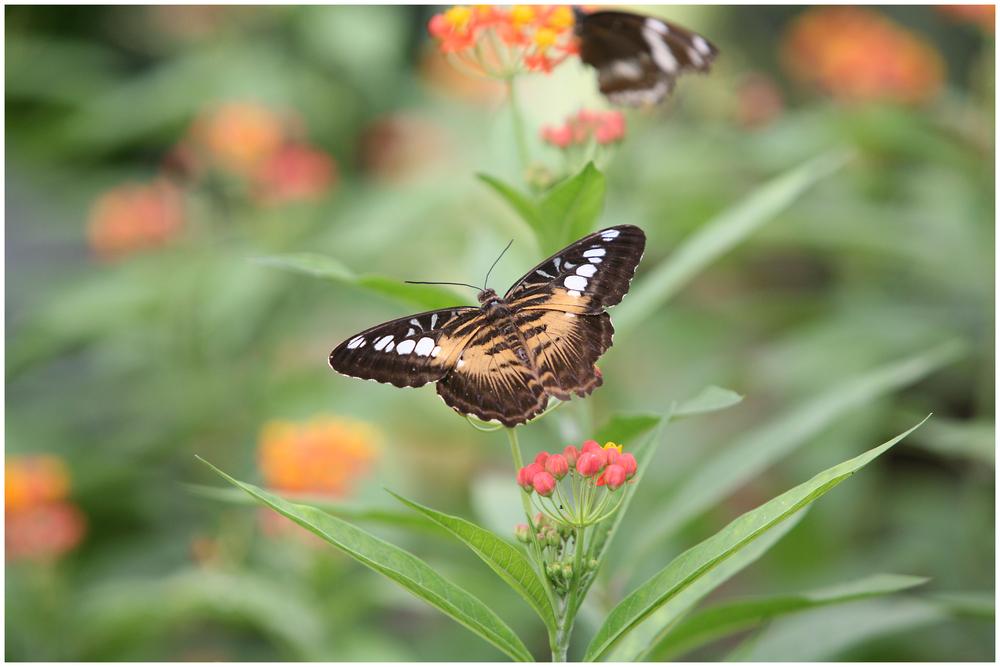 Schmetterling (9939) 2