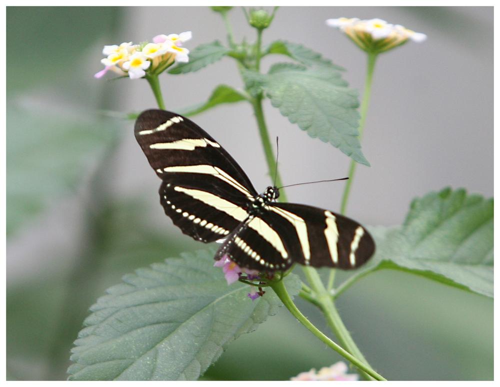 Schmetterling (9970)