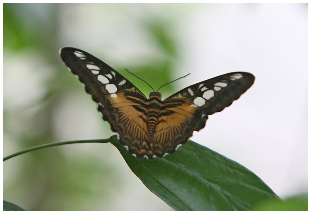 Schmetterling (9995)