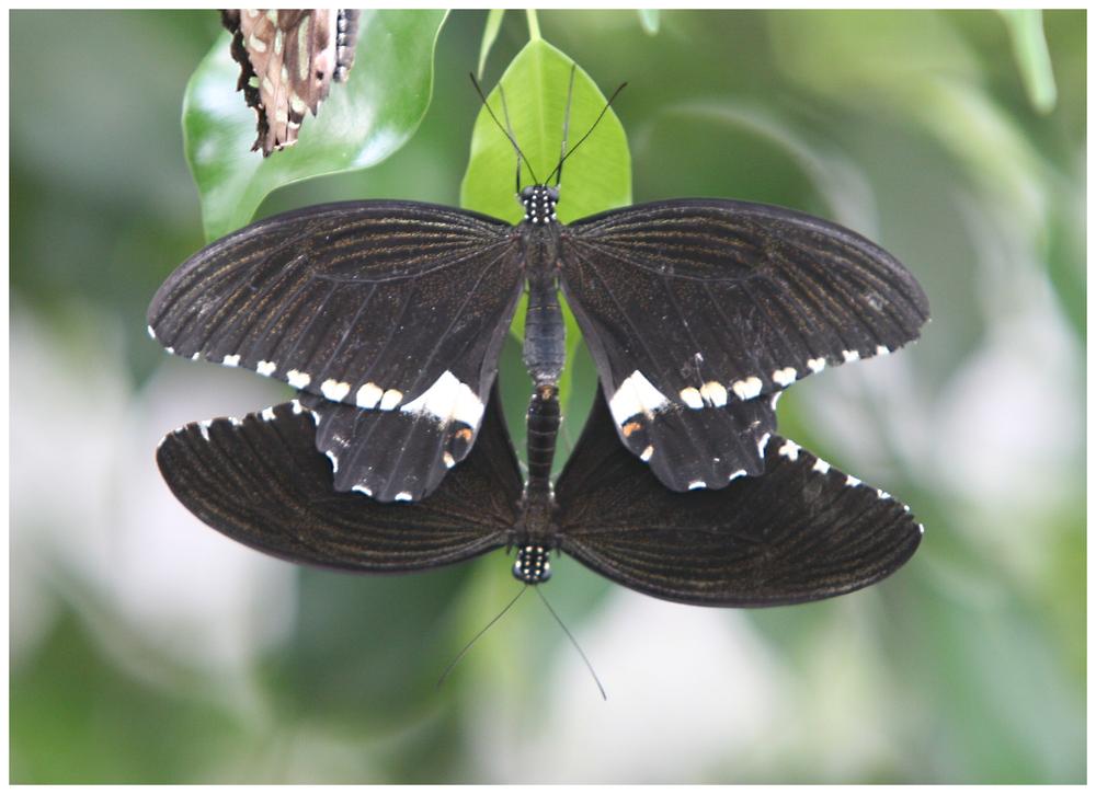 Schmetterling (9999)