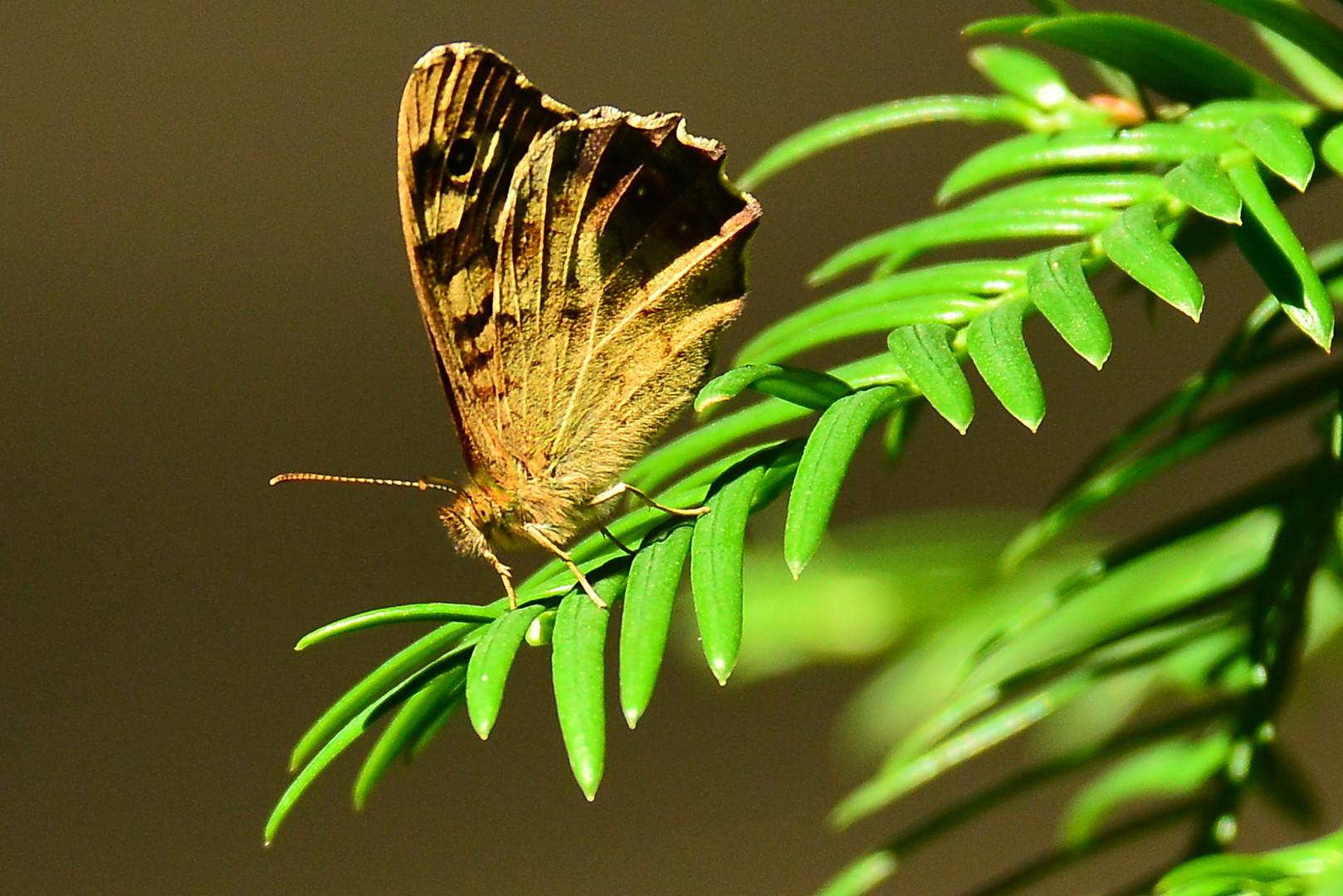 Schmetterling a