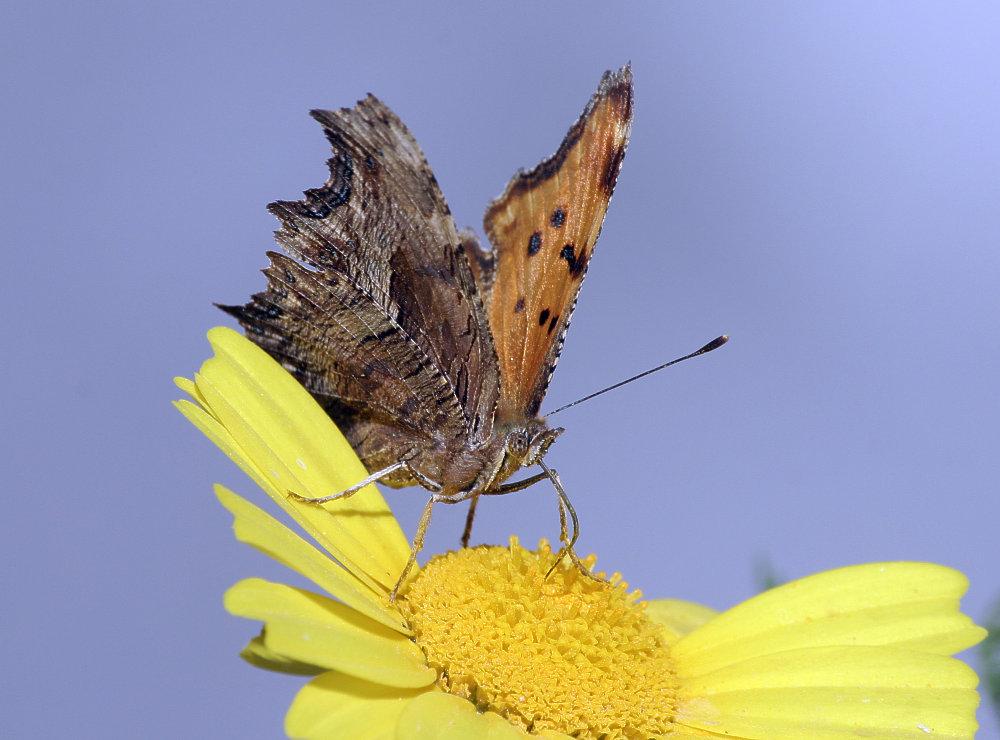 Schmetterling, aber was für einer ?