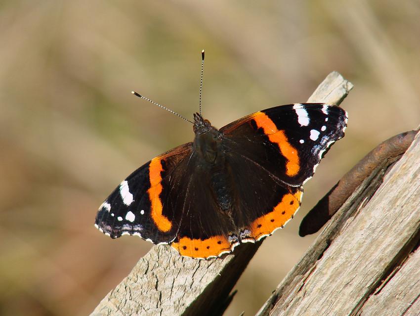 Schmetterling: Admiral