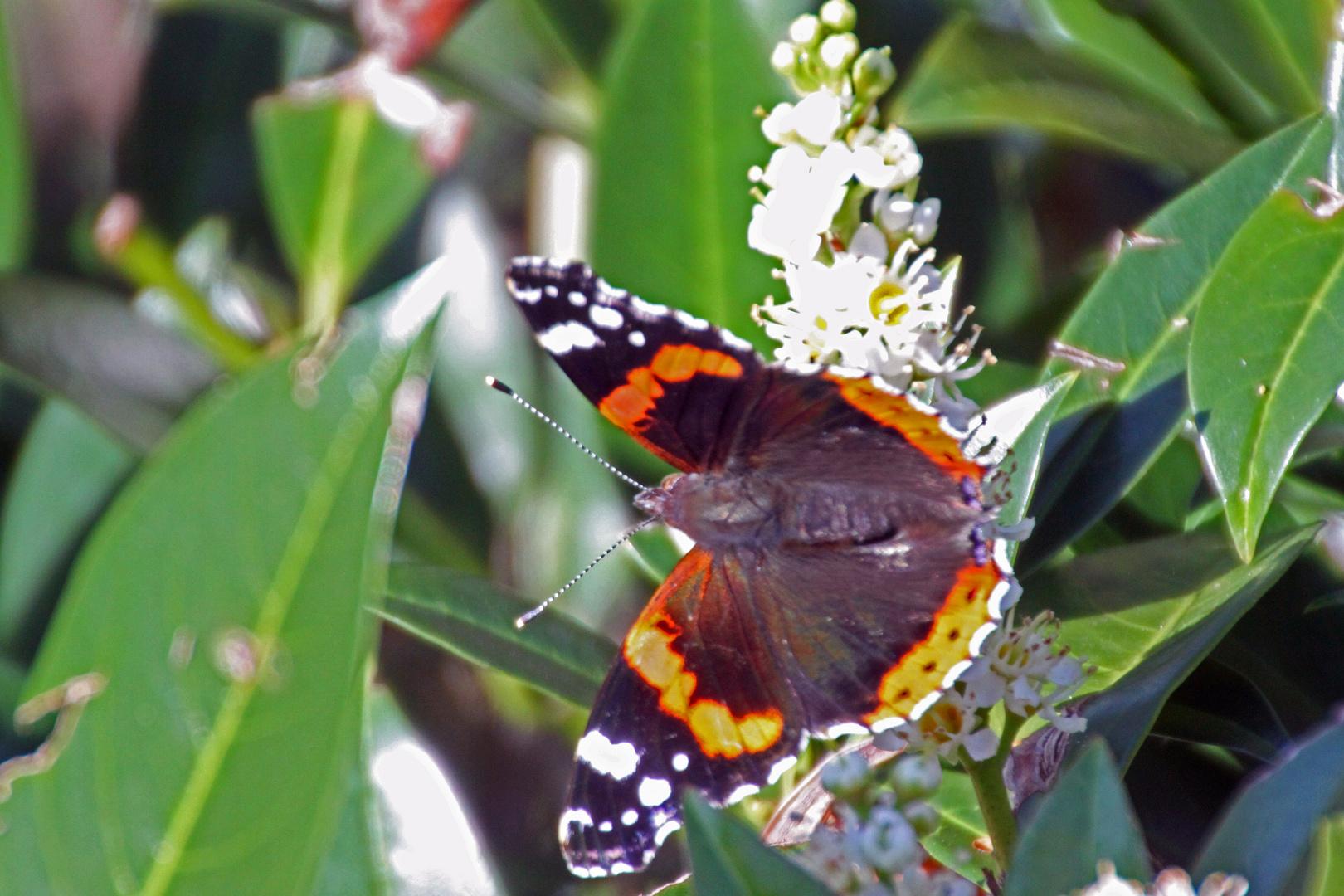 Schmetterling Admiral