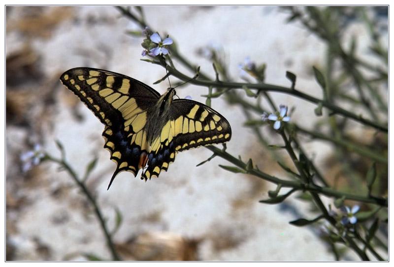 Schmetterling am Badestrand (Schwalbenschwanz)