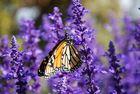 Schmetterling am blühendem Lavendel - Neuseeland