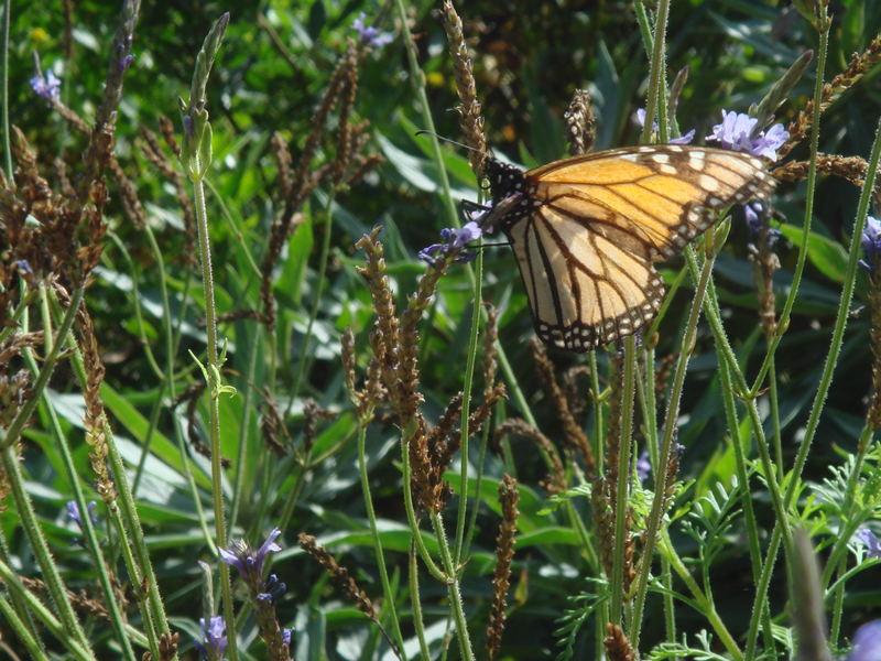 Schmetterling am Drachenbaum