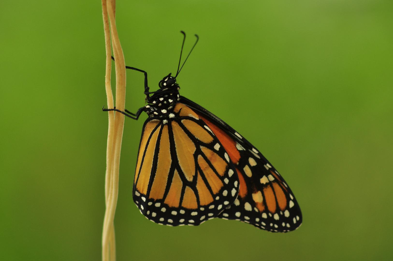 Schmetterling am Faden