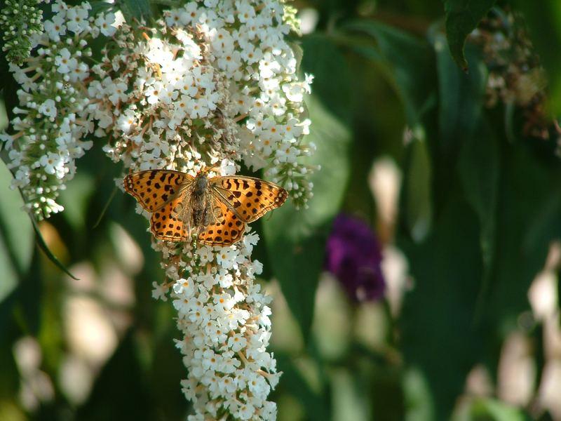 Schmetterling am Flieder