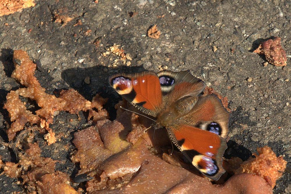 Schmetterling am Obst