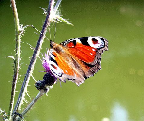 Schmetterling am Teich