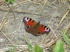 Schmetterling an der Ostsee