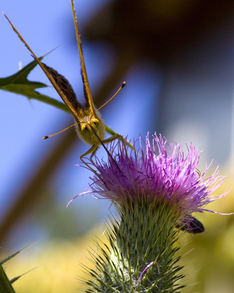 Schmetterling an einer Distelblüte