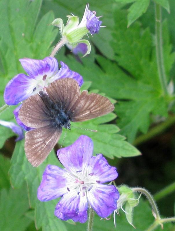 Schmetterling auf blauer Blume