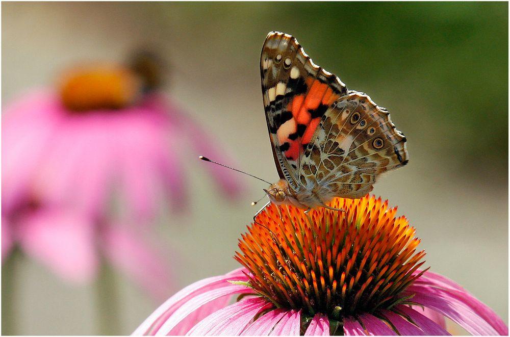 Schmetterling auf Blüte von Kladi.