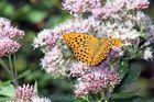 Schmetterling auf Blüten 2