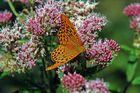 Schmetterling auf Blüten 4