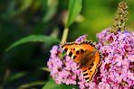 Schmetterling auf Buddleja davidii