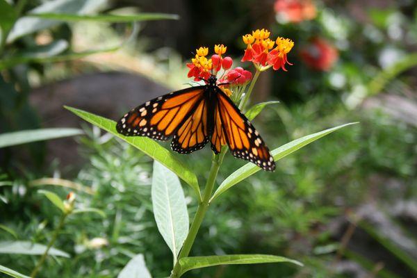 Schmetterling auf Cran Canaria