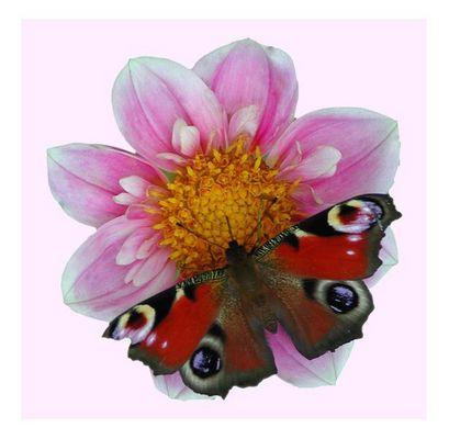Schmetterling auf Dahlie mit Rand