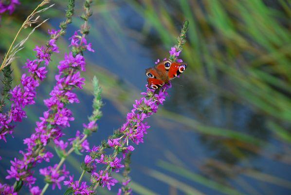 Schmetterling auf dem Blutweidrich