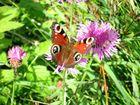 Schmetterling auf der Bergwiese
