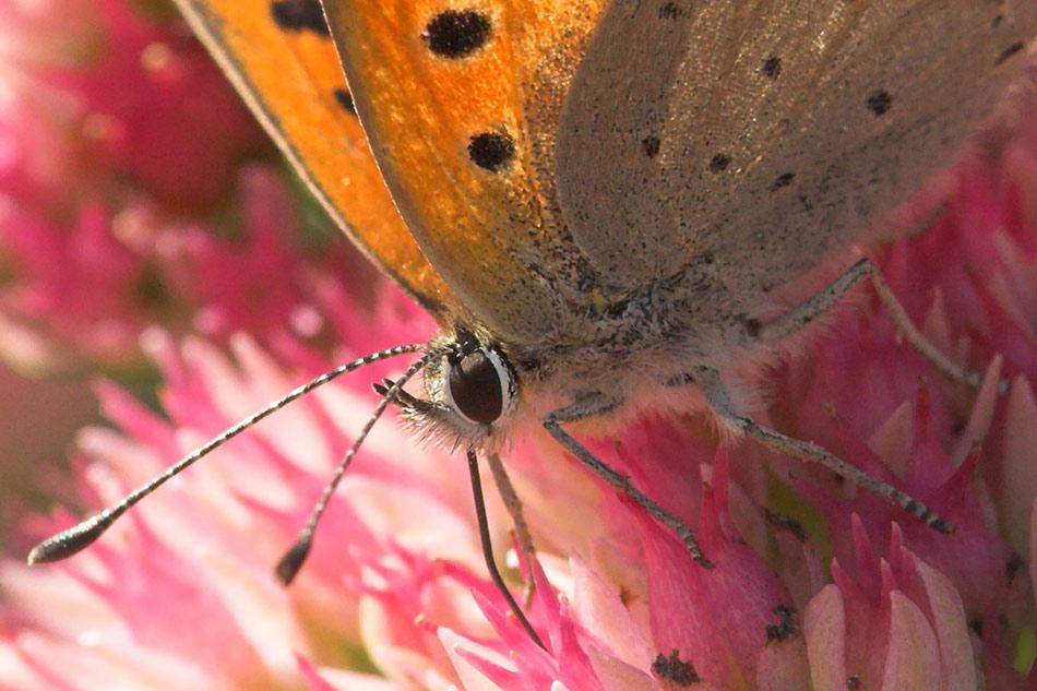 Schmetterling auf der Fetthenne