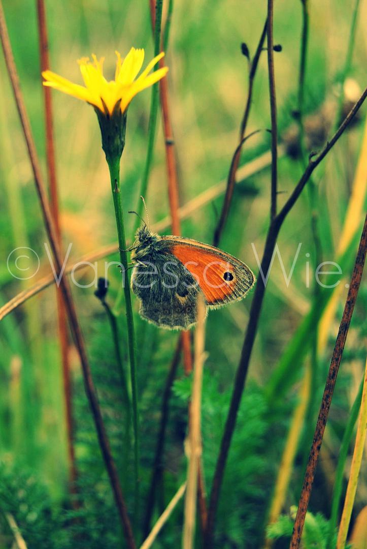 Schmetterling auf der Wiese
