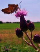 Schmetterling auf Distel von Elküre