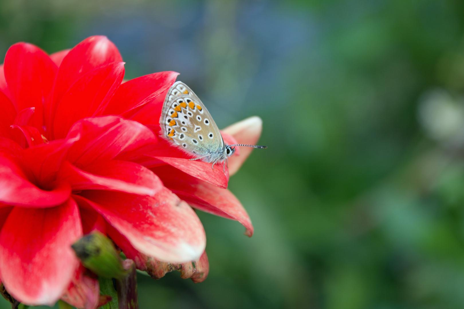 Schmetterling auf einer Aster