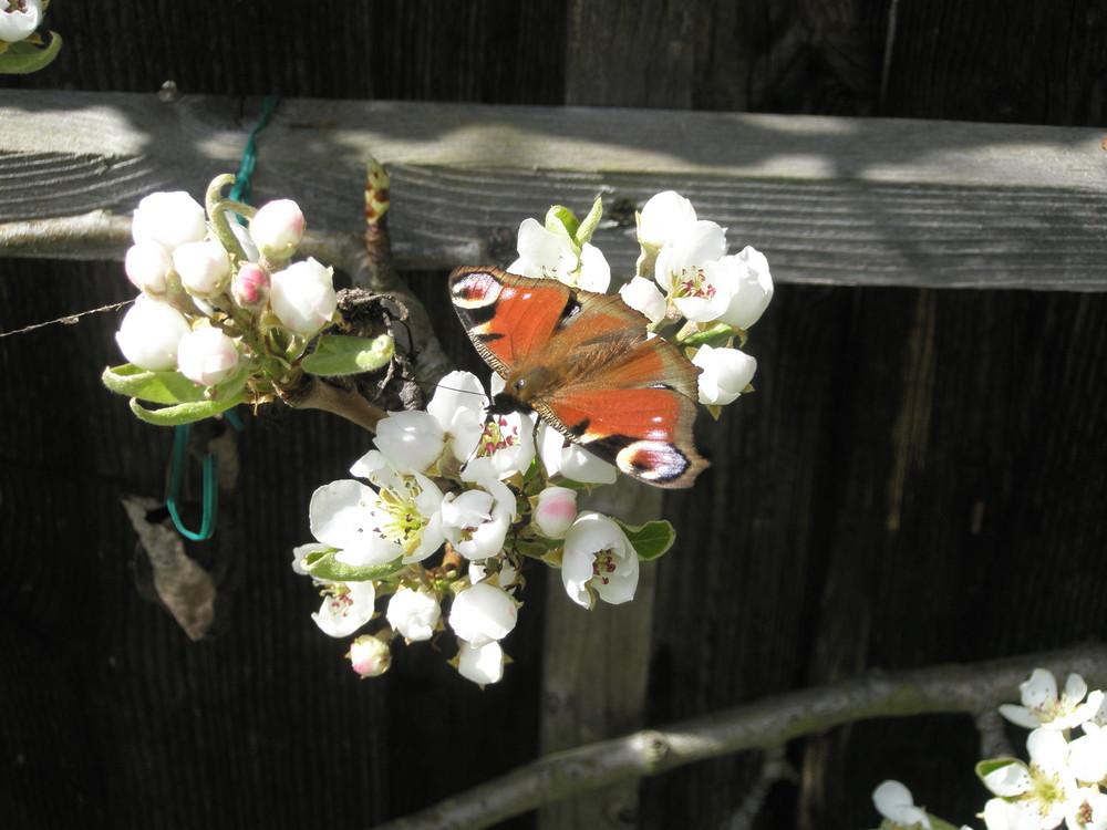 Schmetterling auf einer Birnenblüte