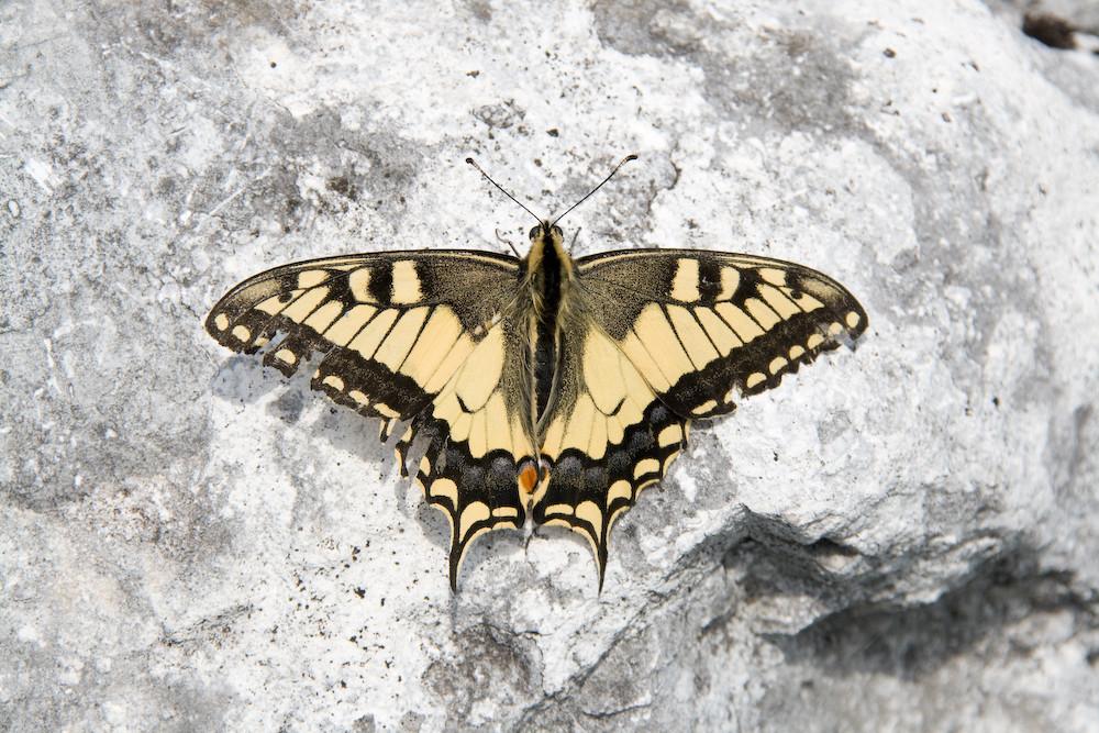 Schmetterling auf Fels
