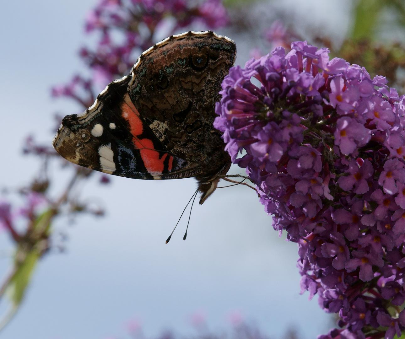 Schmetterling auf Flieder, zugeschnitten