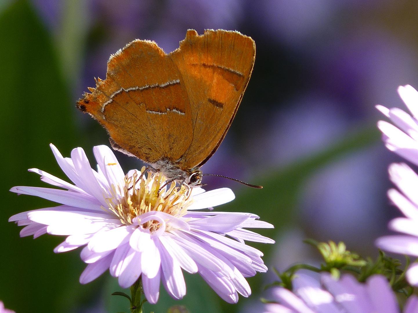 Schmetterling auf Herbstaster