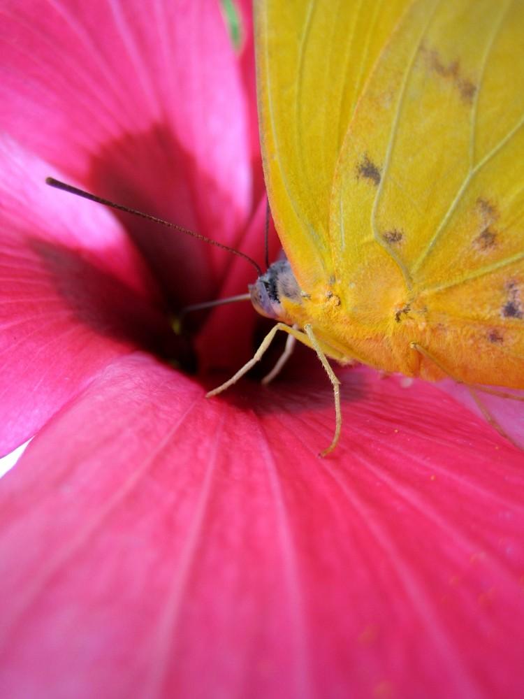 Schmetterling auf Hibiskusblüte