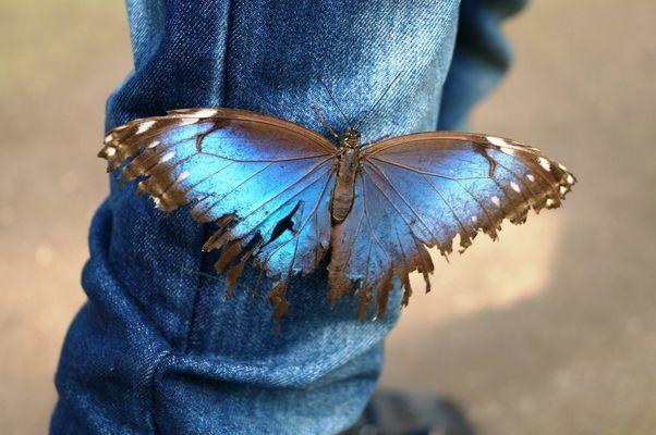 Schmetterling auf Jeans