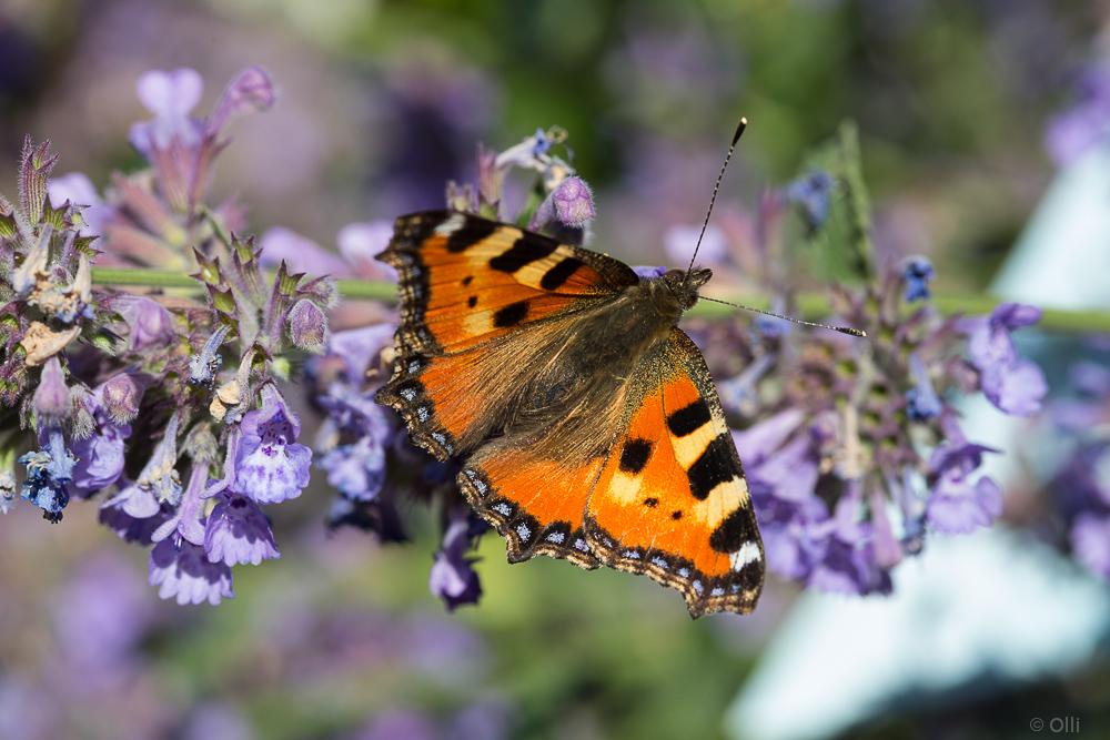 Schmetterling auf Katzen Minze