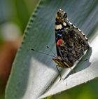Schmetterling auf Maishalm