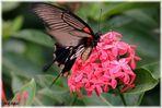 Schmetterling auf Malaysia